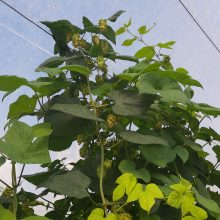 گل رازک Humulus Lupulus