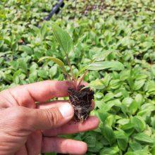 نشاء سرخارگل یا Echinacea angustifolia