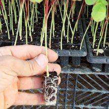 نشاء چای ترش یا Hibiscus sabdariffa Seedlings