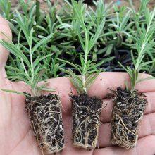 نشاء توپی رزماری یا Rosmarinus Officinalis