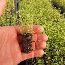 نشاء آویشن باغی یا Thymus Daenensis Celak