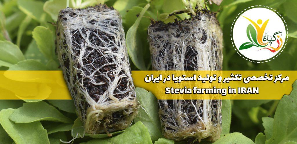 نشا توپی استویا Stevia seedling