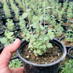 گلدان آویشن شیرازی