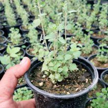 گلدان آویشن شیرازی Zataria Multiflora