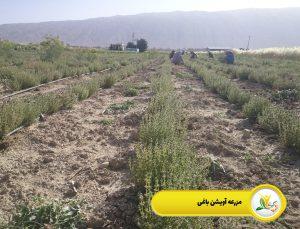 کاشت گیاهان دارویی در خانه